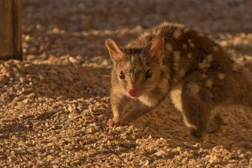 Northern Quoll a nocturnal attraction at Kuri Bay Sportfishing Tours