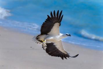 White breasted sea eagle photographed during the Kuri Bay Sportfishing Tour
